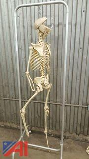 Skeleton On Stand