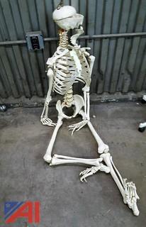 Skeleton - Life Size