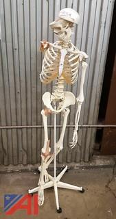 Skeleton On Stand - Life Size