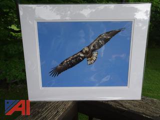 Soaring Juvenile Bald Eagle Photograph